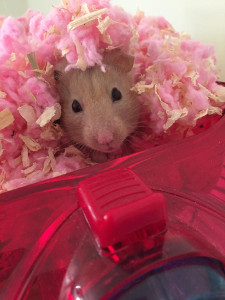 Hamster bedding on top of a hamster