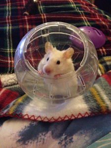 Fat Hamsters! Is your hamster too fat? | The Hamster House